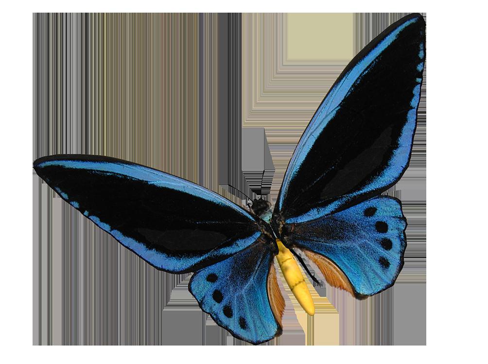 blue birdwing butterfly cut-out