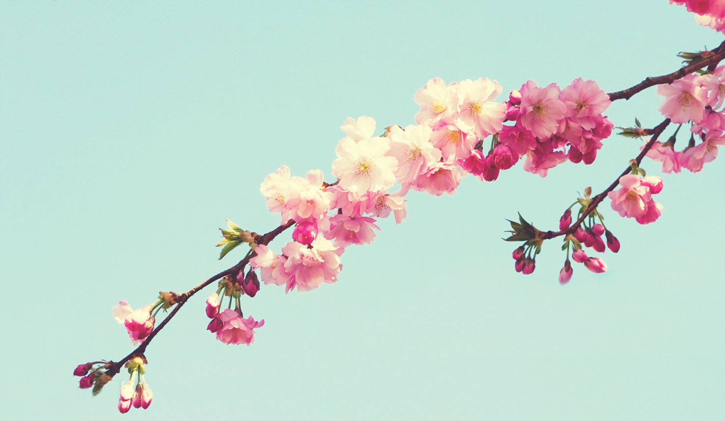 pink cherry blossoms on branch