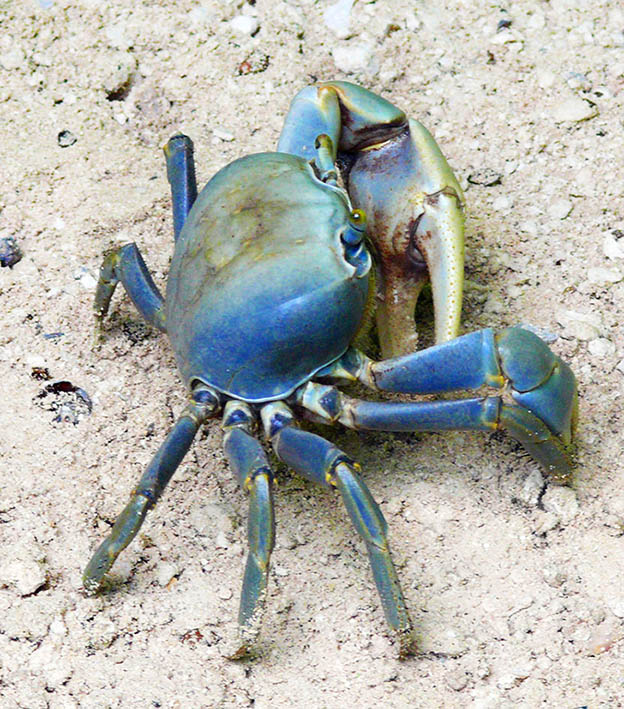 blue crab on beach