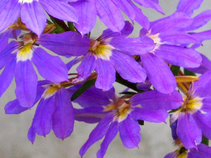 flower pics blue flower