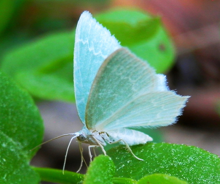 blue green forest butterfly