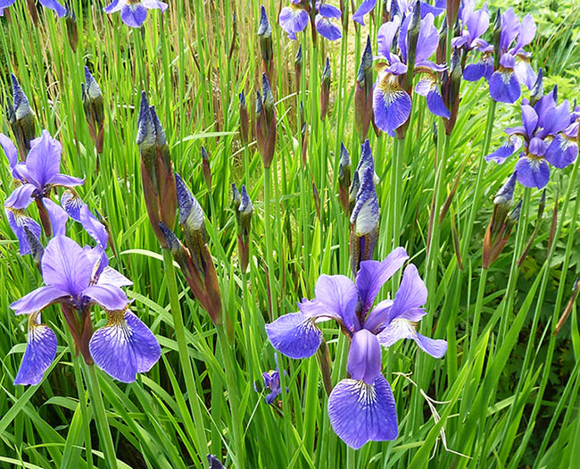 lots of blue iris flowers