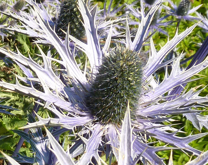 blue thistle close up