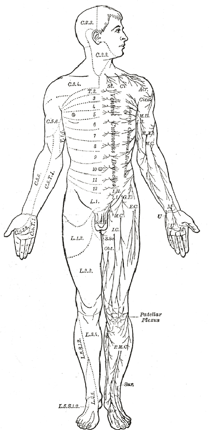 body diagram front