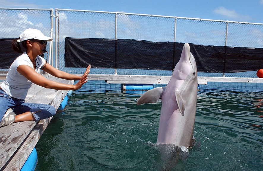 bottlenose dolphin responding hand signal