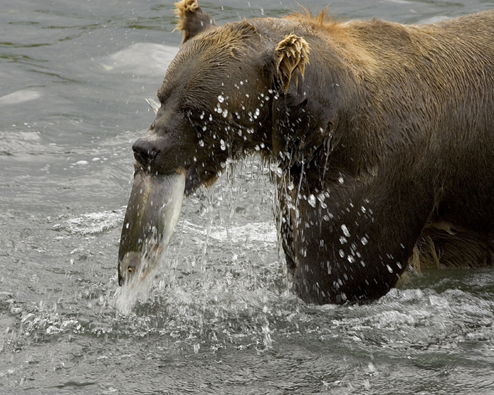 bear pictures brown bear fishing