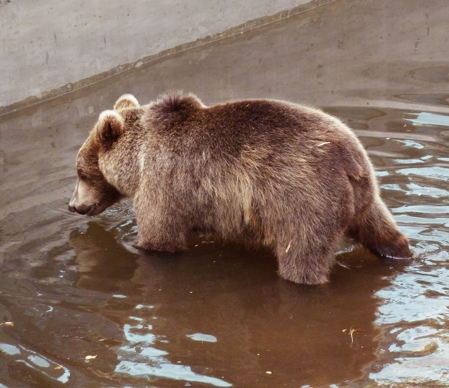 photo of brown bear in water