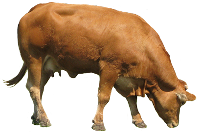 animal graphics brown cow