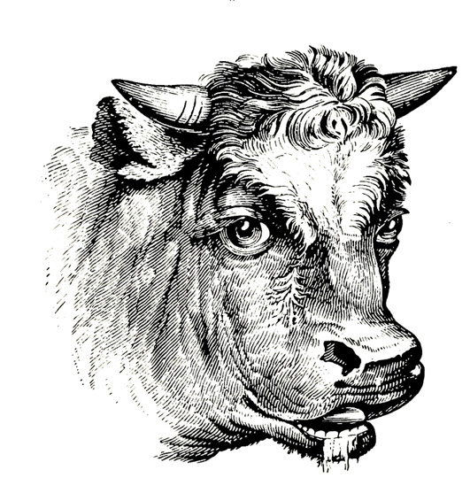 Bull's head drawling