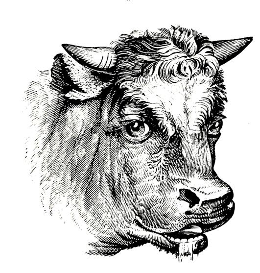 Bull's head drawling