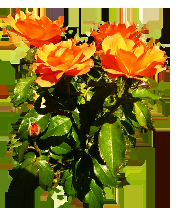 bunch of orange roses blooming