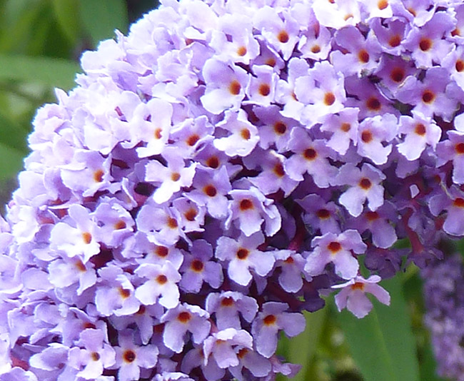 close up of butterfly bush