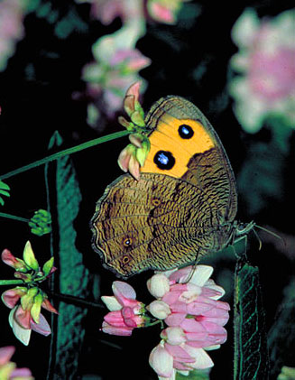 Cercyonis-pegala butterfly clipart