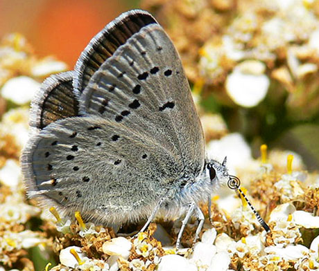 female Mission blue butterfly
