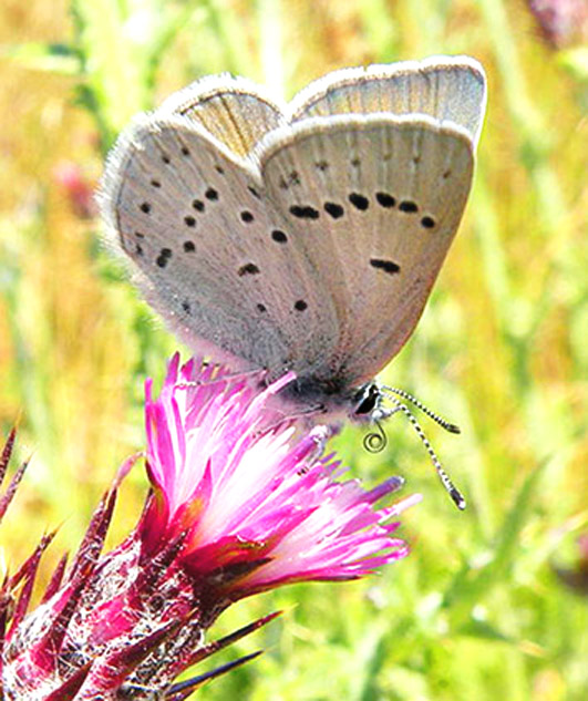 butterfly pictures Icaricia