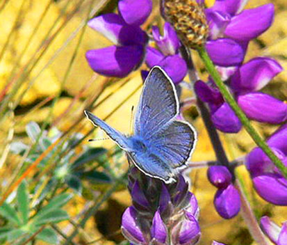 male Mission blue butterfly on flower