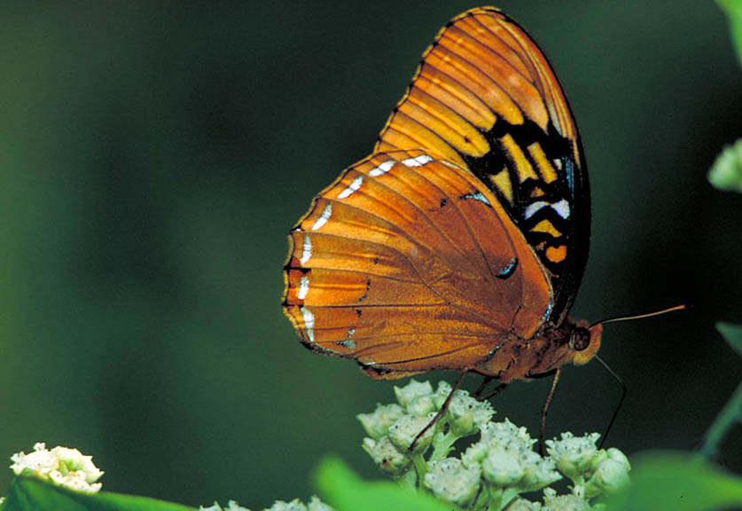 Male orange butterfly
