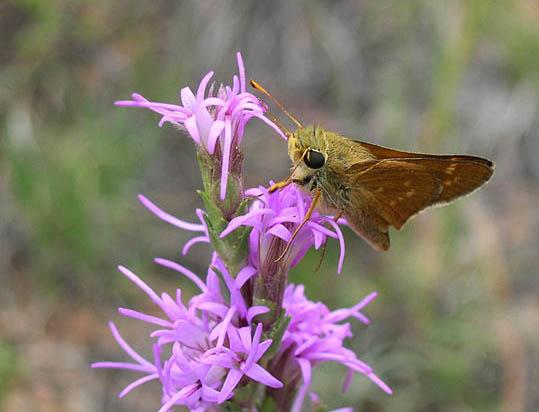 Pawnee Montane skipper butterfly