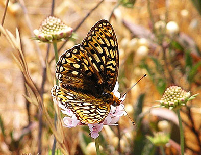 butterfly pictures speyeria