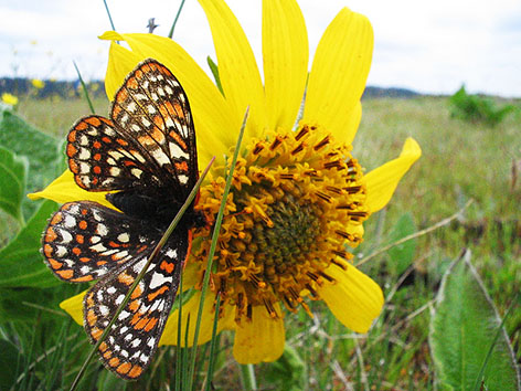 Taylors-checkerspot