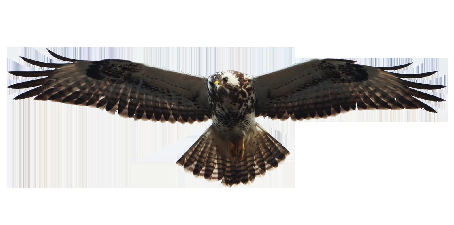 clip art of buzzard flying