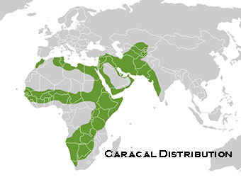 caracal cat distribution