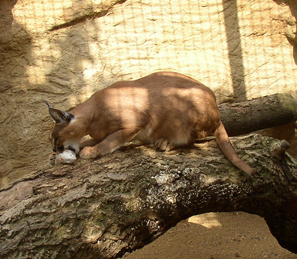 Caracal eating a white mouse