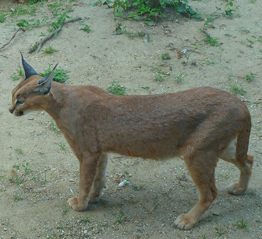 Caracal-cat-standing