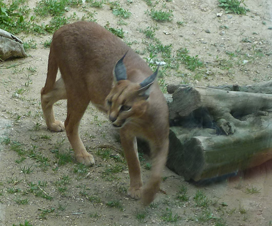 Caracal cat walking