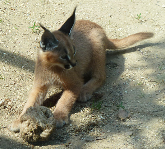 Caracal lynx kitten playing