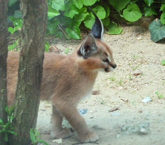 Caracal kitten in zoo