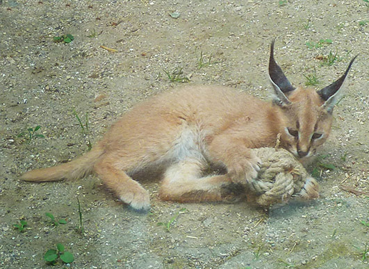 Caracal kitten playing