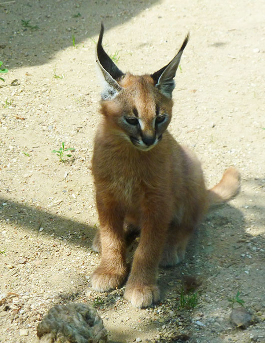 Caracal kitten with rope toy