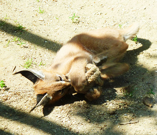 Caracal lynx playing kitten