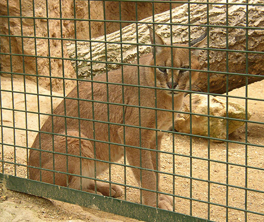 Caracal caracal in zoo