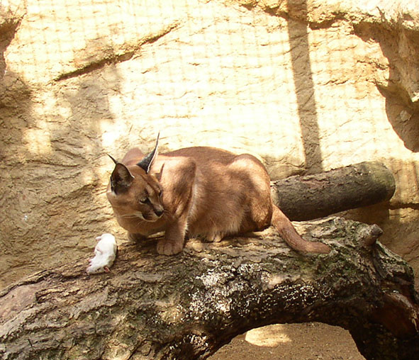 Caracal caracal eating rattus norwegius