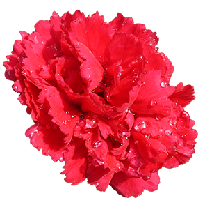 carnation flower red