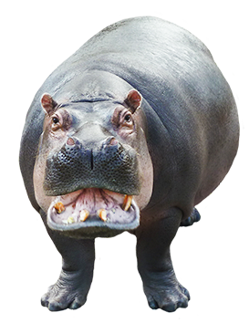 hippopotamus clipart looking at you