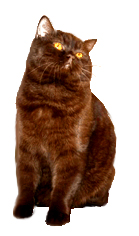 british shorthair cat clip art
