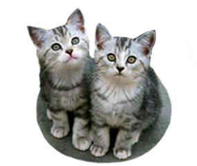 cat clip art two grey kittens looking at you