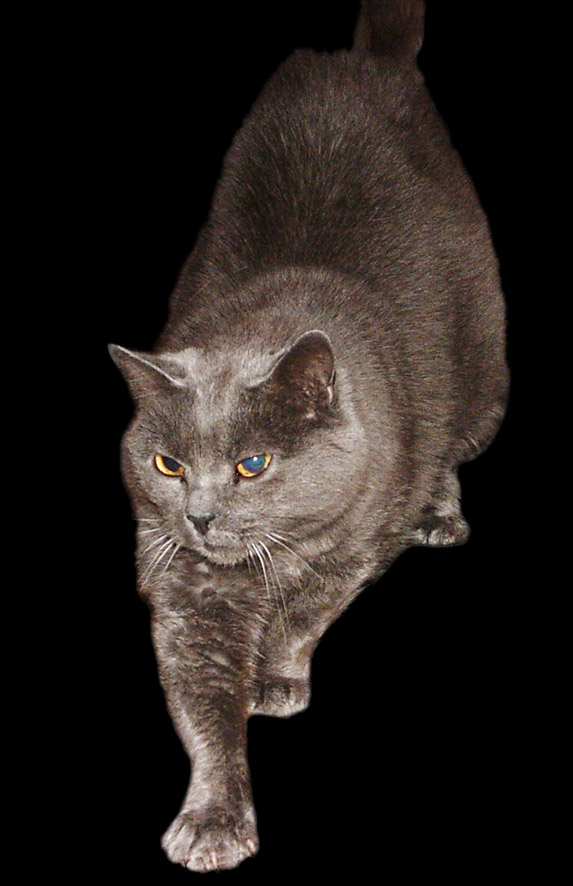 Chartreux cat dark grey