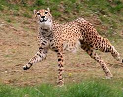 cheetah facts gepard speed