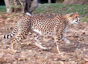 cheetah gepard walking