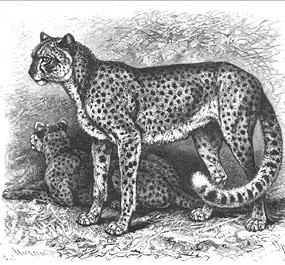 Drawing of two cheetahs