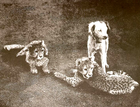 asiatic cheetah cubs and dog