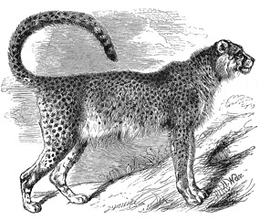 Drawing of Asiatic cheetah