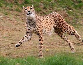 Gepard runnning for meat