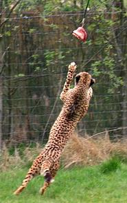 cheetah hunting meat