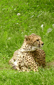 cheetah picture in grass