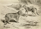 Drawing of panther and cheetah